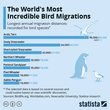 Infographic -  longest annual migration distances recorded for bird species